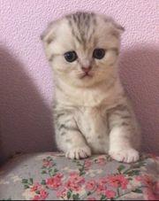 13 Wochen Scottisch Fold Kitten
