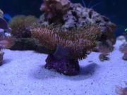 Pilzlederkorallen Sarcophyton Meerwasser