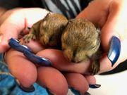 3x chin Baumstreifenhörnchen - Tamiops swinhoei