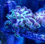 Korallen Ableger LPS SPS
