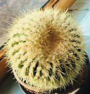 Grosser Kaktus