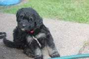 Goldendoodle f1b wie Labradoodle mit