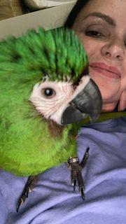 Rotbugara Henne Papagei entflogen gesucht
