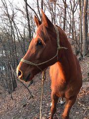 Freizeitpferd Araber Wallach Geländepferd Wanderreitpferd