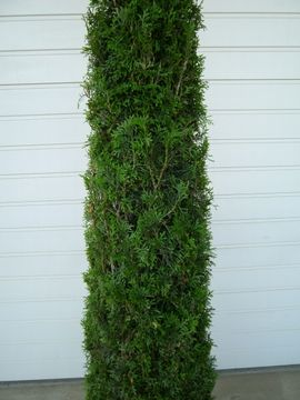 Pflanzen - Thuja smaragd Alternative zu Toskanazypresse