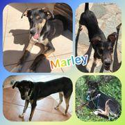 Wunderschöner Rüde Marley 8 Monate