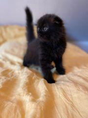 BKH BLH Scottish Fold Kitten