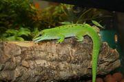 Großer Madagaskar Taggecko