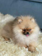 Pomeranian mini Mädchen