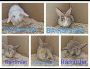 Rex-zwergwidder Kaninchen
