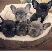 Wunderbar französische Bulldoggen Welpen