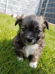 Chihuahua Welpen Hugo und Mickey