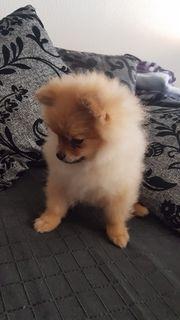 Zwergspitz Hündin Pomeranian
