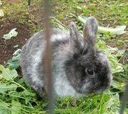 3 5-jähriges Zwergkaninchen Weibchen grau