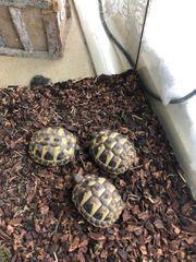 Griechische Landschildkröten 07 20