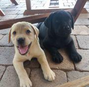 Labrador Welpen blond und schwarz