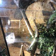 Leguane 1 1 Iguana Iguana