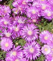 1 hellpink-violette Delosperma Mittagsblume Pink