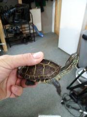 2 Chinesische Dreikielschildkröten