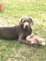 Wurfankündigung Labradorwelpen in Silber mit