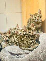 Süße Bengal mix Kitten in