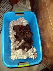10 braune Labradoodle Welpen