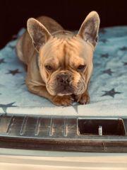Französische Bulldogge kein Verkauf nur