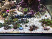 Korallen lps sps Weichkorallen Krusten