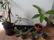 zimmerpflanze avocado drachenbaum