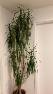 Drachenbaum Zimmerpflanzen ca 2 50m