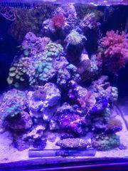 Lebendgestein Korallen Lifesand zum starten