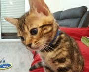 Wunderschönen Bengal Kitten