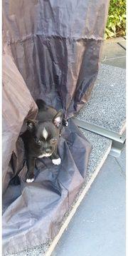 süsser Chihuahuarüde 7 Wochen alt