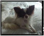 Chihuahua Deckrüde