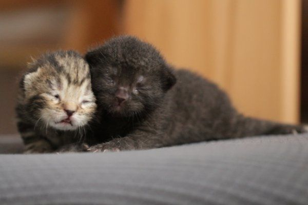BKH x Scottish Fold Kitten