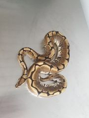königspython python regius weiblich