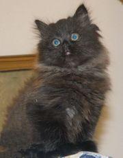 Reizendes Kätzchen - Perser Mischling von