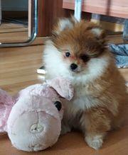Mini Zwergspitz Pomeranian Welpe Hündin