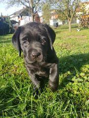 Süßer Labrador welpe zu verkaufen