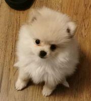 Entzuckende Pomeranian Welpen die jede