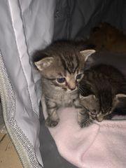 Katzenbabys Kitten EKH Katzen
