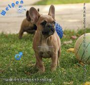 Bildschöne kräftige Französische Bulldoggen Welpen