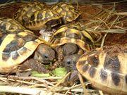 Griechische Landschildkröten Versand möglich