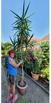 Yucca Riesen Palme 3 mtr