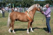 WELSH SECTION C - PALOMINO