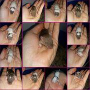Ratten Welpen abzugeben