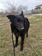 freundlicher kleiner kroat Schäferhund Mischlingsrüde