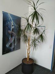 Große Hydrokultur-Pflanze Dracaena