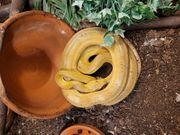 2 Gartenboas Corallus hortulanus