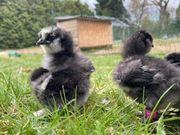 Küken Seidenhühner schwarz mit Bart